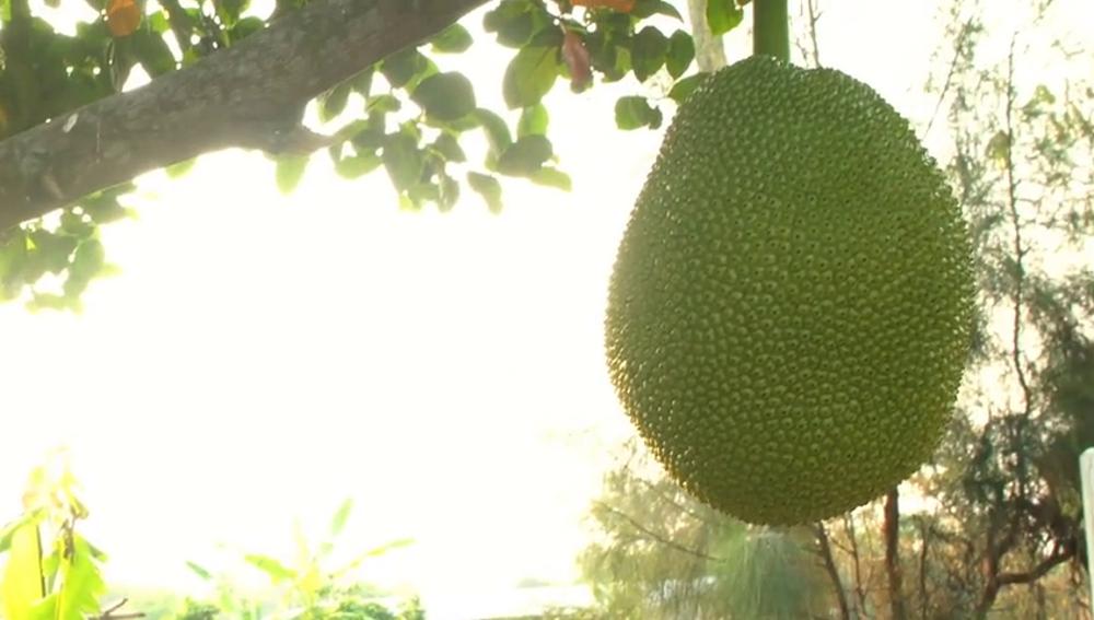 Jackfruit: la fruta más grande del mundo