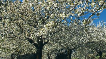 Los cerezos en flor del Valle del Jerte.