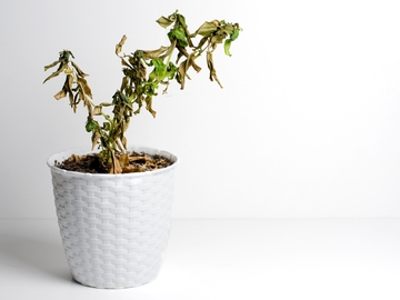 Planta marchita